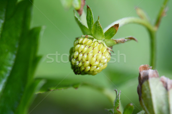 Unripe strawberry fruit Stock photo © sarahdoow