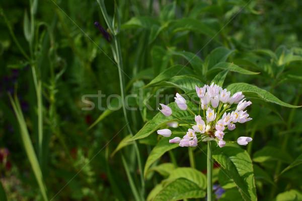 Stock photo: Buds of white allium roseum flowers