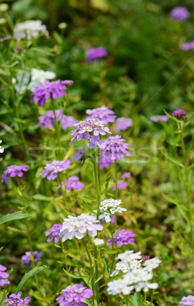 Mauve candytuft flowers among pretty blooms Stock photo © sarahdoow