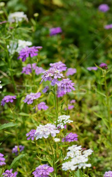 Leylak rengi çiçekler güzel çoklu bahçe çiçeklik Stok fotoğraf © sarahdoow