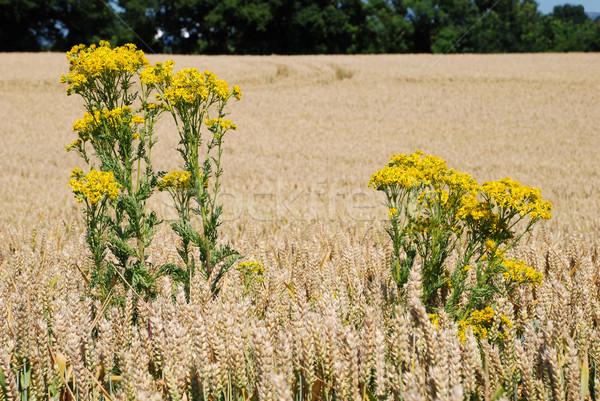 Ragwort in a field of wheat Stock photo © sarahdoow