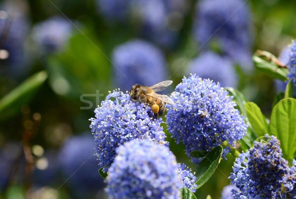 Honingbij vol macro honingbij Blauw bloem Stockfoto © sarahdoow