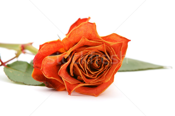 Orange rose bloom with faded petals Stock photo © sarahdoow