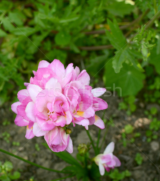 Pretty pink freesia growing in a flower bed Stock photo © sarahdoow