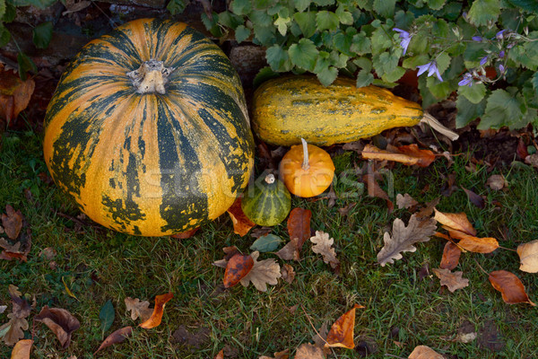 Pumpkin and ornamental gourds with fall leaves in a garden Stock photo © sarahdoow
