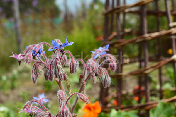 Borage flowers in a pretty flower bed Stock photo © sarahdoow