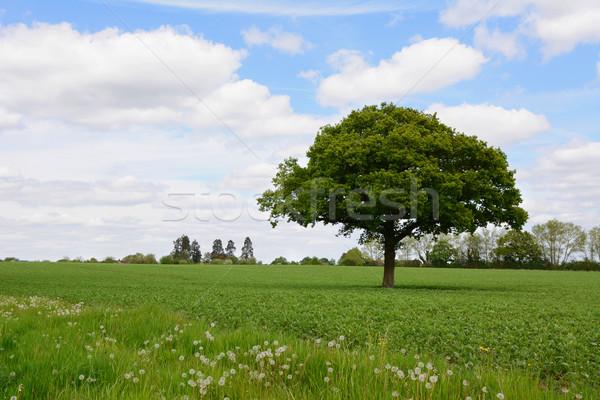 Carvalho campo luxuriante verde fazenda Foto stock © sarahdoow