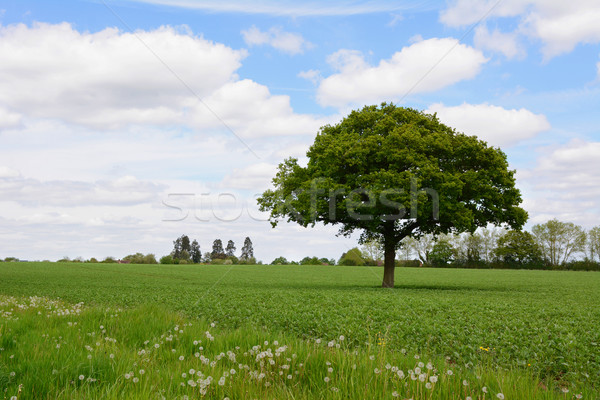Roble campo exuberante verde granja Foto stock © sarahdoow