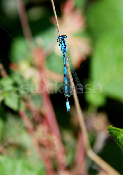 Common blue damselfly Stock photo © sarahdoow