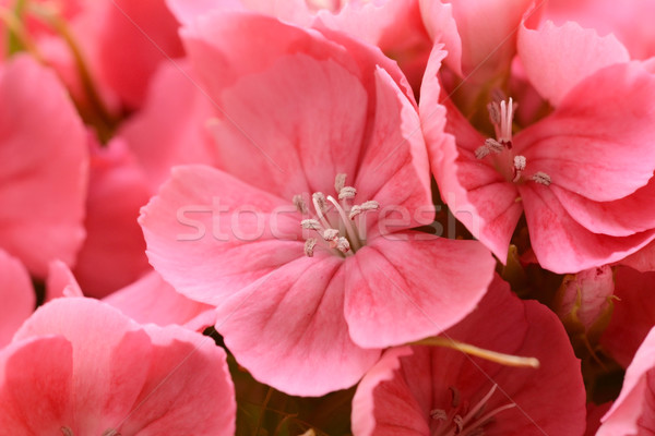 Macro of pink sweet william blooms Stock photo © sarahdoow