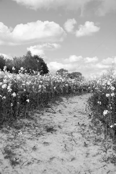 Path leads through a field of oilseed rape Stock photo © sarahdoow