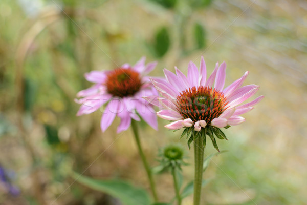 Two echinacea flowers with pale pink petals Stock photo © sarahdoow
