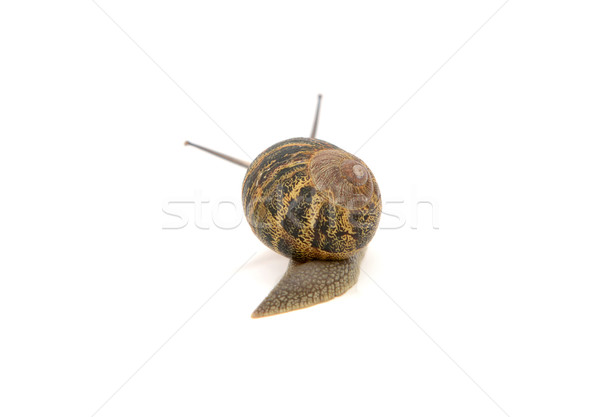 Snail with stripey shell slides away, tentacles visible above it Stock photo © sarahdoow