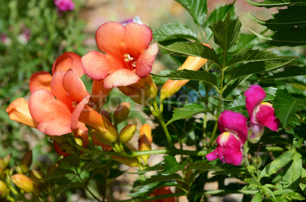 Campsis - trumpet vine - flowers Stock photo © sarahdoow