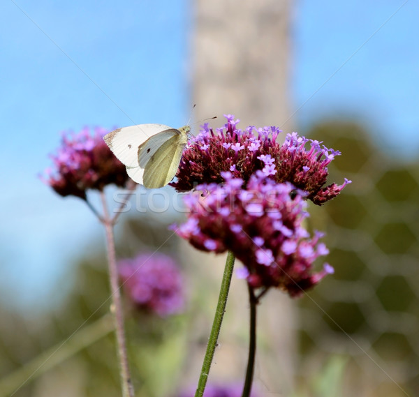 Cabbage white butterfly on purple verbena flowers Stock photo © sarahdoow