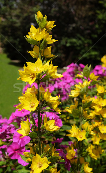 Yellow loosestrife grows against a colourful floweres Stock photo © sarahdoow