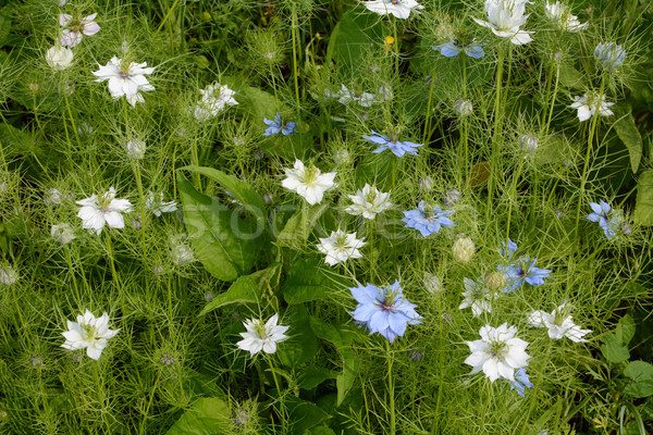 Denso branco azul flores Foto stock © sarahdoow