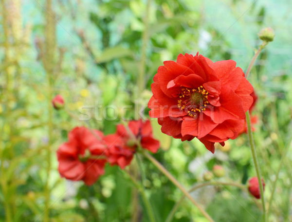 Red geum flower against other blooms Stock photo © sarahdoow