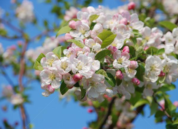 Foto stock: Primer · plano · cangrejo · manzana · flor · primavera