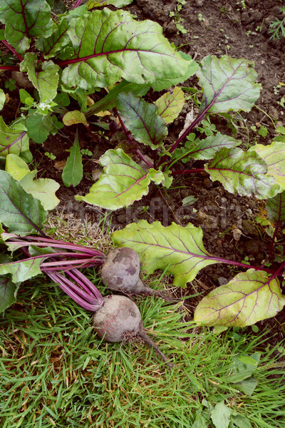 Two freshly harvested beets in an allotment Stock photo © sarahdoow
