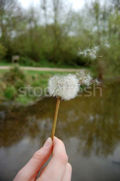 Hand holding a dandelion clock Stock photo © sarahdoow