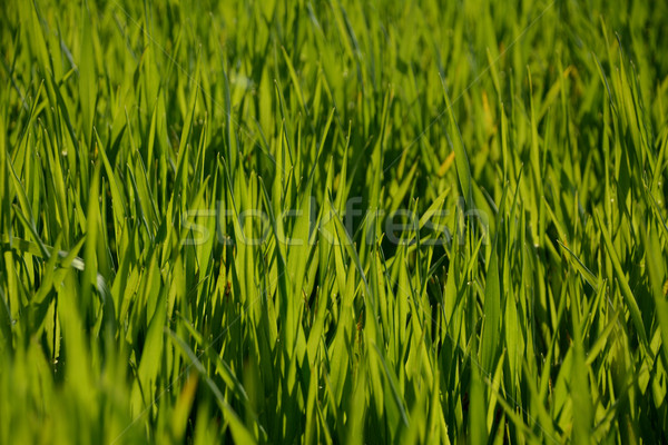 Backlit young green wheat plants Stock photo © sarahdoow