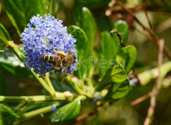 пчелиного меда синий цветок макроса пчела Сток-фото © sarahdoow