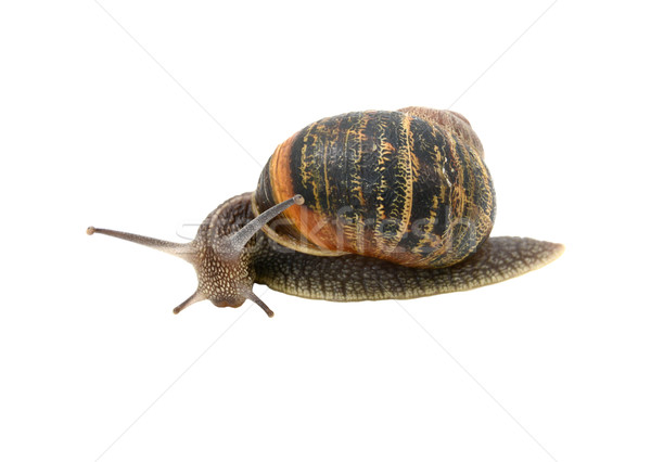 Garden snail with striped shell turning forwards inquisitively  Stock photo © sarahdoow