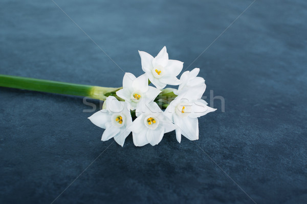 Single stem of delicate white narcissus flowers Stock photo © sarahdoow