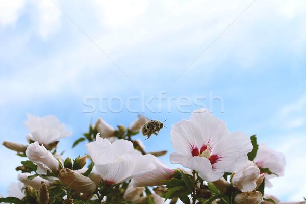 Pollen-covered bumble bee in flight Stock photo © sarahdoow