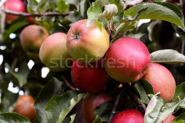 Stock fotó: Citromsárga · piros · almák · ág · gyümölcsös · fa