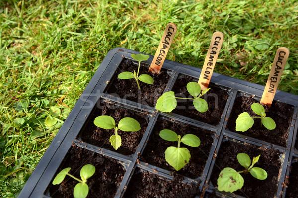 Plántulas desarrollo hojas semillas bandeja hierba Foto stock © sarahdoow