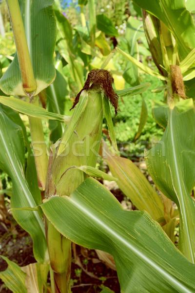 成熟 棕色 絲綢 長 綠葉 商業照片 © sarahdoow