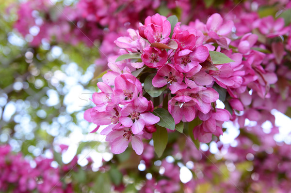 Pink blossom on branch of malus crab apple Stock photo © sarahdoow