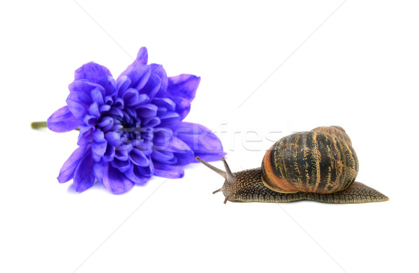 Snail with stripy shell in front of a blue chrysanthemum Stock photo © sarahdoow