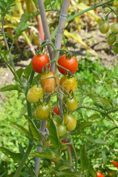 Truss of ripening cherry plum tomatoes Stock photo © sarahdoow