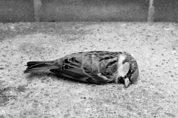 Dead tree sparrow by a brick wall Stock photo © sarahdoow