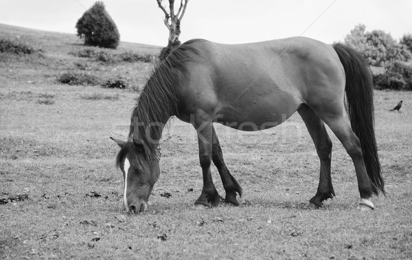 Bay pony in foal grazing in the New Forest Stock photo © sarahdoow