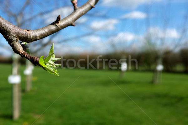 Close-up of green leaves opening on apple tree Stock photo © sarahdoow
