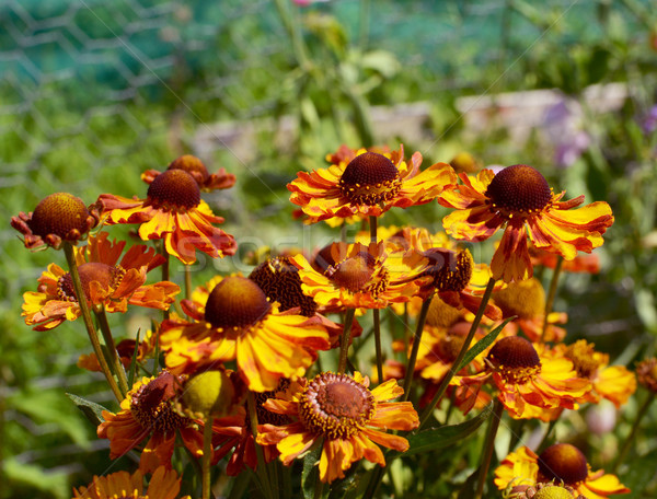 Cluster of red-brown and yellow helenium flowers  Stock photo © sarahdoow