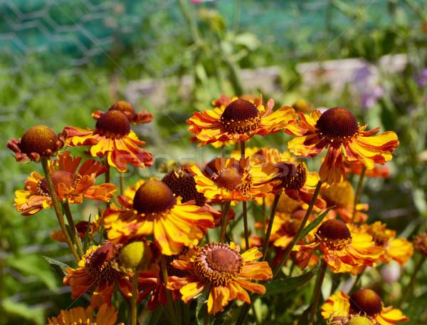 クラスタ 黄色 花 名前 自然 赤 ストックフォト © sarahdoow