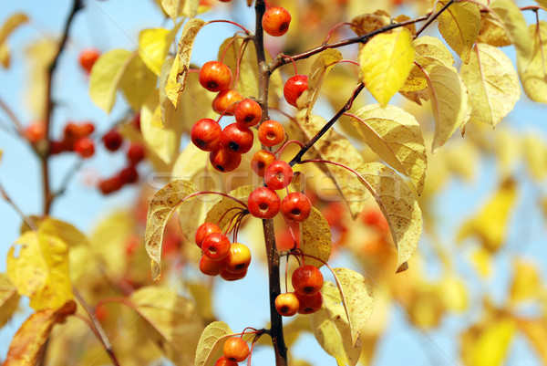 Red crab apples among yellow autumn leaves Stock photo © sarahdoow