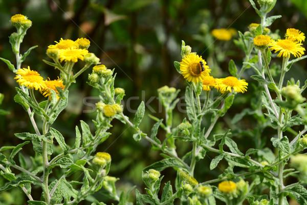 Abelha amarelo flor verde Foto stock © sarahdoow