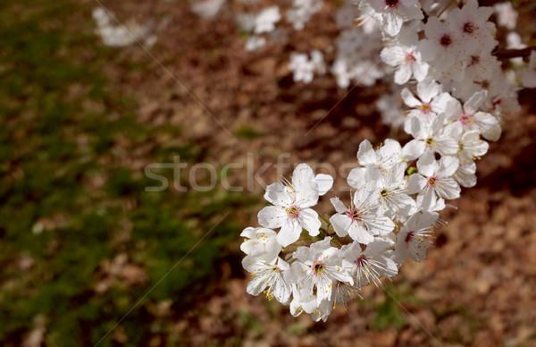 Foto stock: Rama · primavera · blanco · flor · marrón