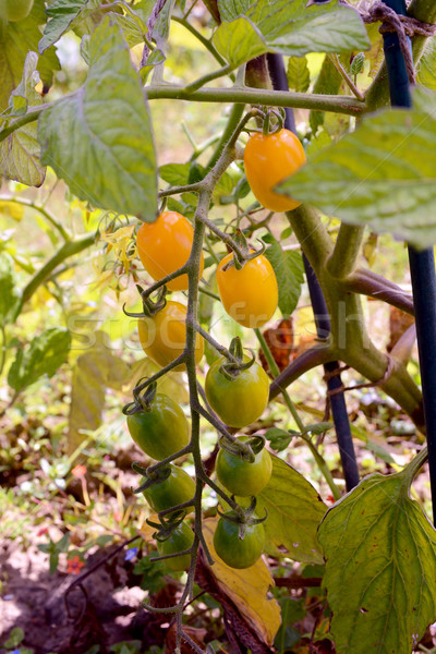 Yellow plum tomatoes ripening on the vine Stock photo © sarahdoow