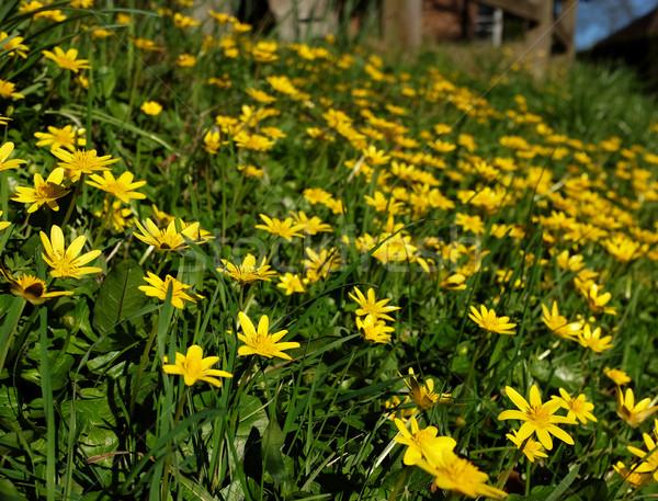 Banque jaune fleurs croissant sauvage campagne Photo stock © sarahdoow