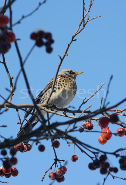 Fieldfare sits in crabapple tree on sunny winter day Stock photo © sarahdoow