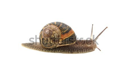 Stock photo: Profile of garden snail with boldly striped shell