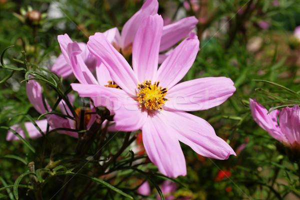 Pink cosmos flower Stock photo © sarahdoow