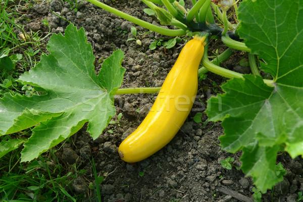 Citromsárga nyár fallabda növekvő növény zöldség Stock fotó © sarahdoow